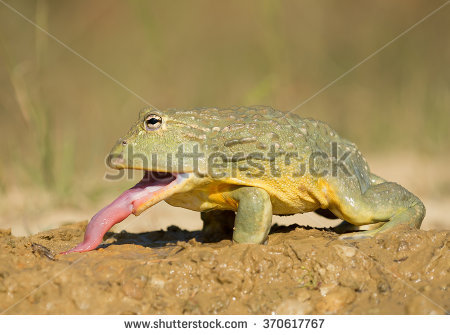 stock-photo-african-bullfrog-in-the-mud-with-prey-clean-green-background-czech-republic-370617767